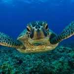 sea-turtle-wallpaper