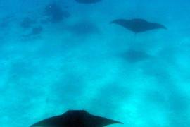 Manta Rays at Cocos Keeling