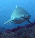 Devocean Dive North Stradbroke Island