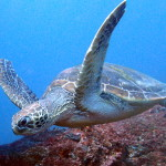 Turtle diving with Devocean