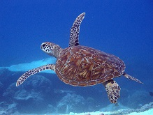 Turtle Flinders reef