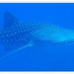 whalesharks-yonaguni